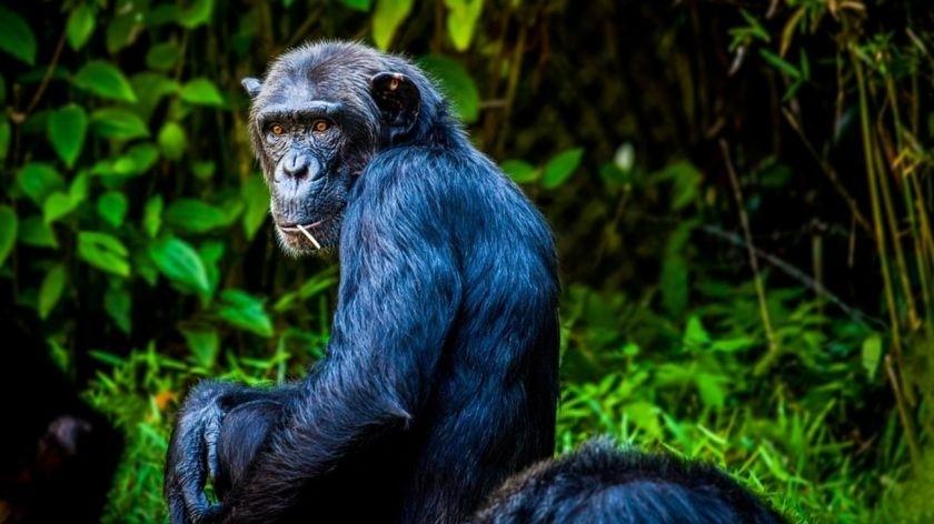 Científicos preocupados por una bacteria que mató a varios chimpances